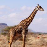 Op safari in Kenia: Amboseli, Tsavo West en Tsavo East